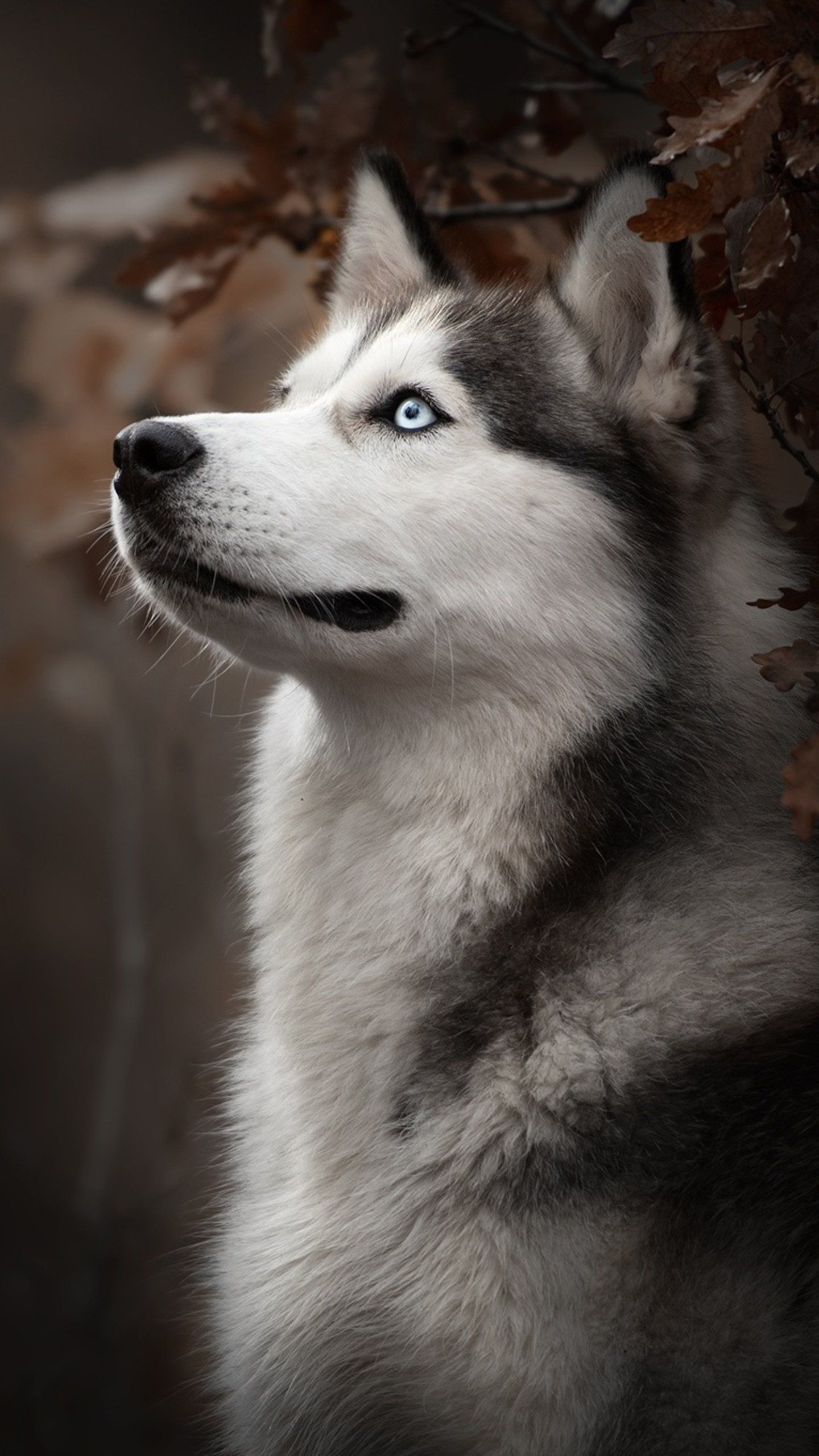 Siberian Husky Dog Breed Hd Animals Wallpapers Photos And
