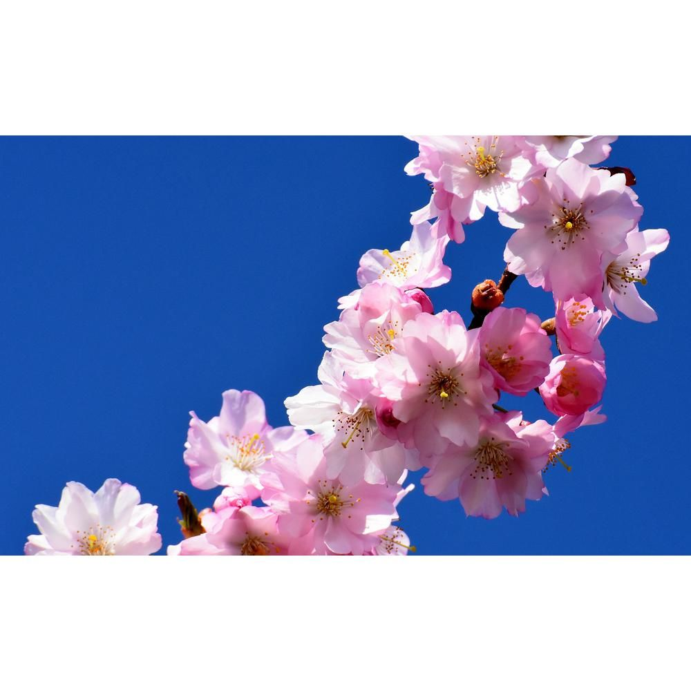Online Orchards Autumnalis Cherry Blossom Tree Blooms Twice A Year Bare Root 3 Ft To 4 Ft Tall Flch006 The Home Depot In 2021 Blossom Trees Cherry Blossom Tree Cherry Blossom