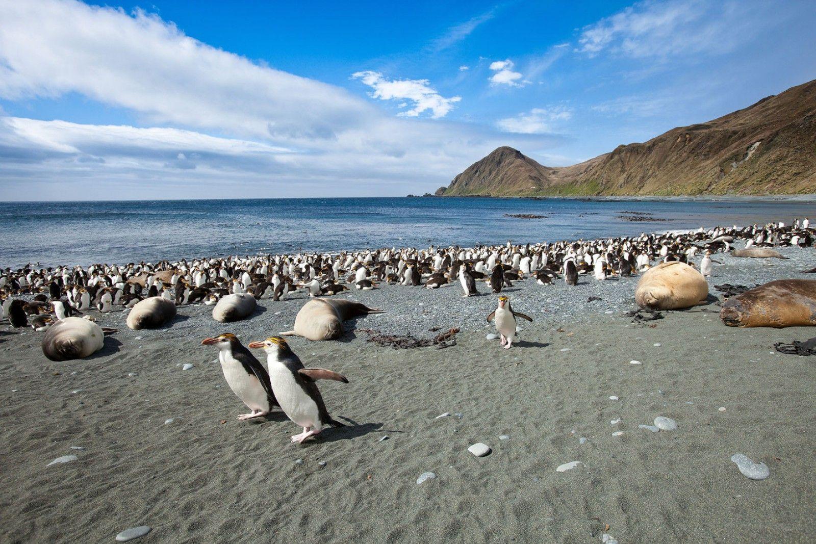 Une petite île isolée du Pacifique, où règnent les manchots - Macquarie Island in Australia a isolated Pacific island where reign penguins.