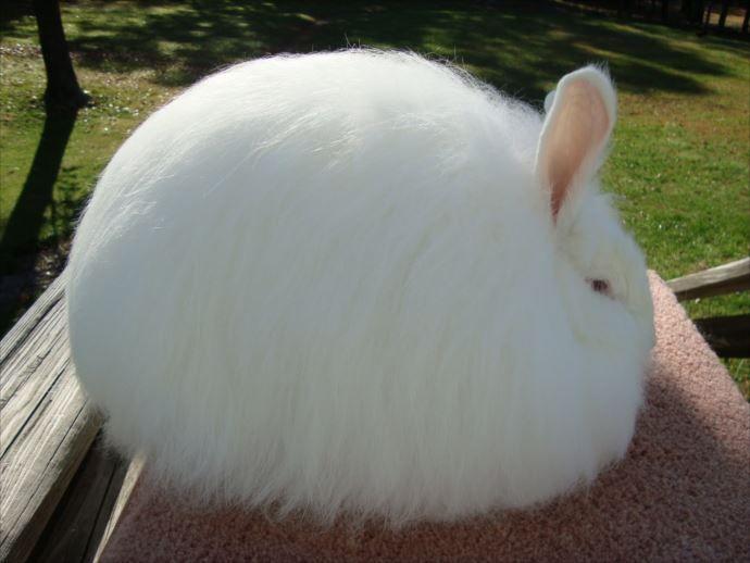 もふもふで最高に可愛い動物30選 犬 猫 ウサギ他画像 太った動物 アンゴラウサギ ふわふわバニー
