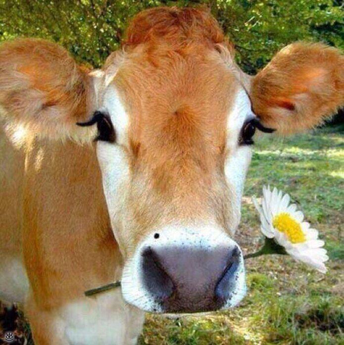 Смешные картинки и фото коров