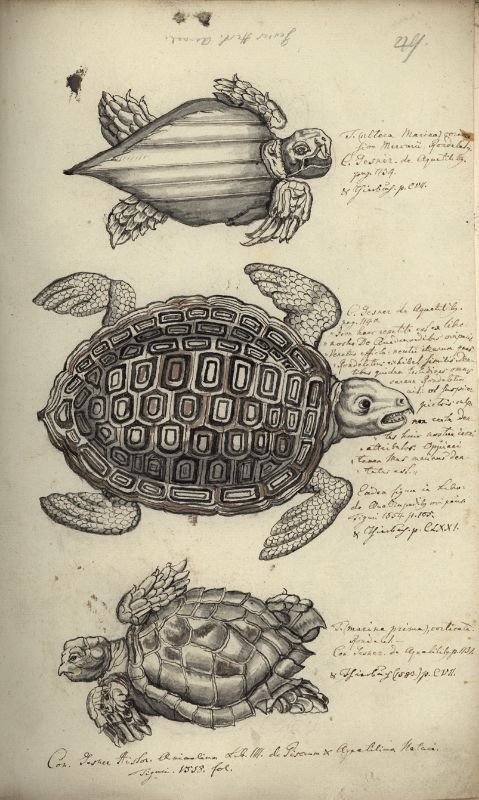 Drei Meeresschildkröten (obere: Lederschildkröte, Dermochelys ...