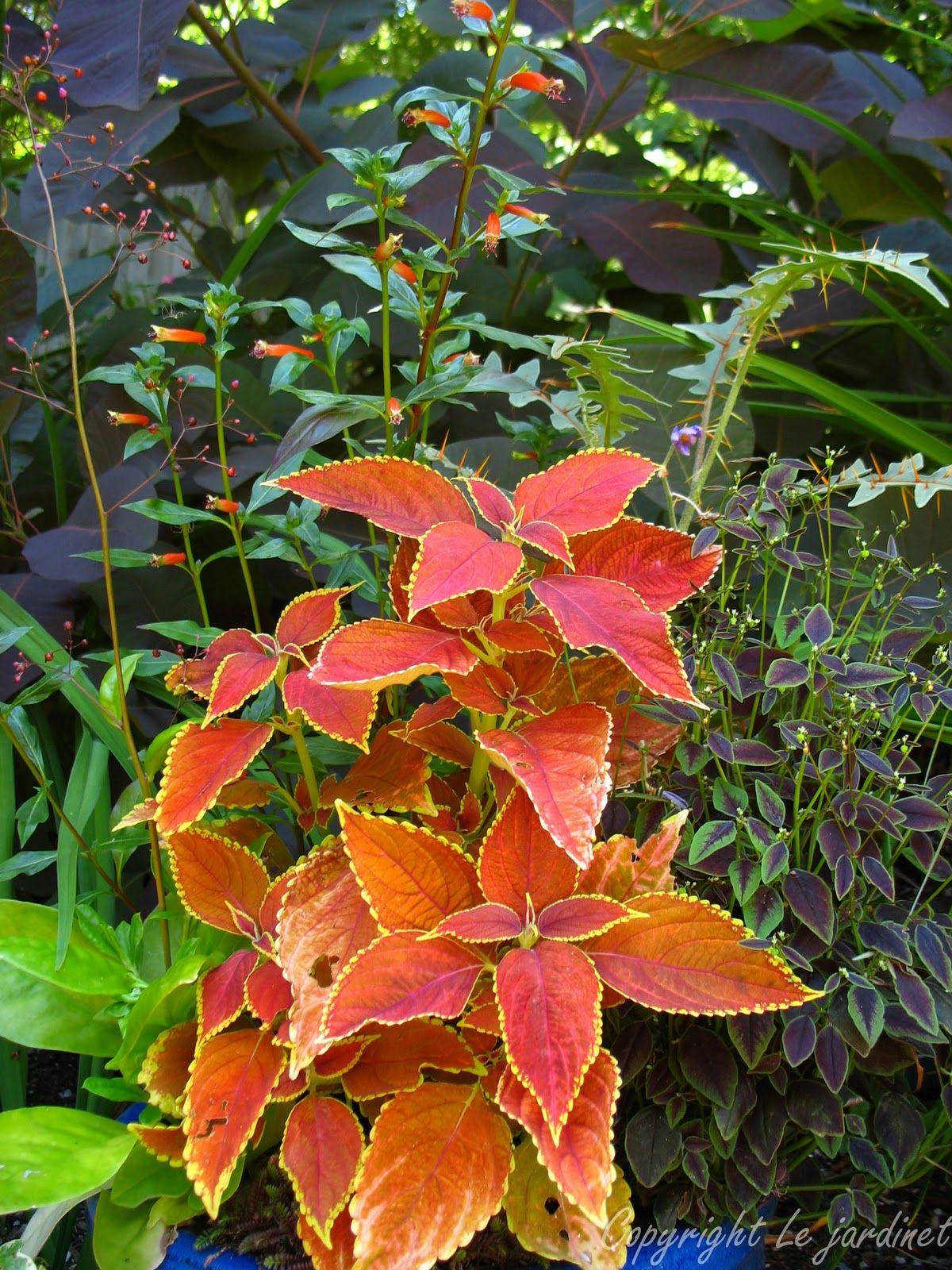 rustic orange coleus garden musthave Garden