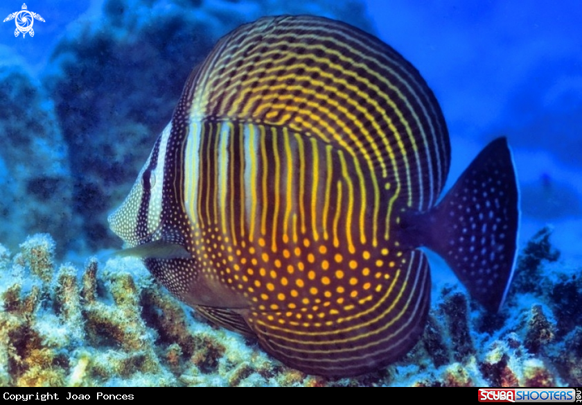 Pacific Sailfin Tang In Mahe Island Seychelles Marine Fish Underwater Images Saltwater Aquarium