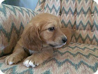 Trenton Nj Cocker Spaniel Dachshund Mix Meet Elsa A Puppy For Adoption Http Www Adoptapet Com Pet 12841060 Trenton New Jersey Cocker Spaniel Mix