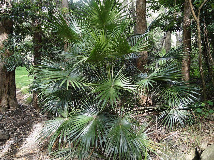 Ливистона южная - Livistona australis, ливистона фото