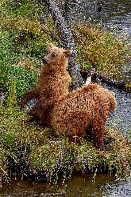 bear cubs - Back scratcher ;-)))