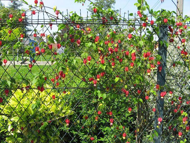 Abutilon Megapotamicum Plantas In My Garden Now Garden