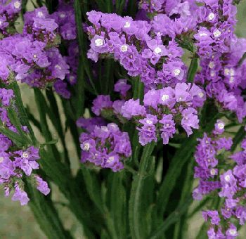 tissue statice lavender flower also known as sea lavender marsh