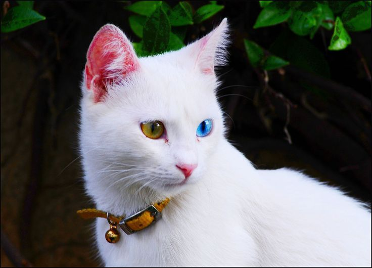 1259f4470371fd VAN KEDİSİ. Pretty Cats