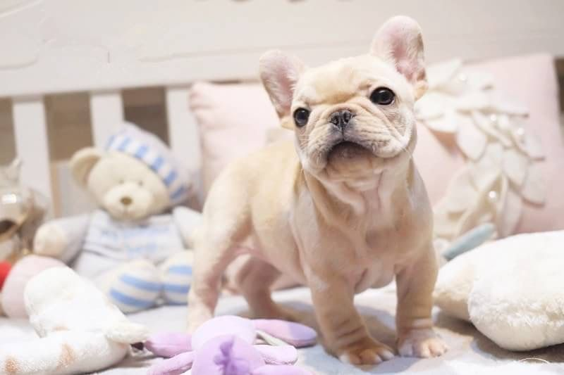 French Bulldog Puppy For Sale In San Jose Ca Adn 59283 On