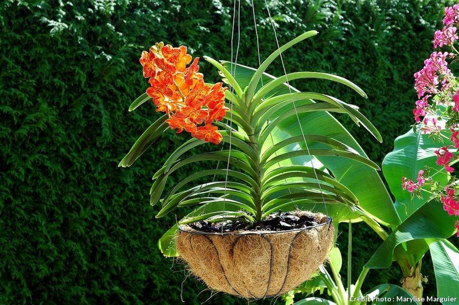 Orchidee Vanda Et Ascocenda 3 Methodes D Entretien Et De Culture Entretien Orchidee Orchidee Culture Des Orchidees