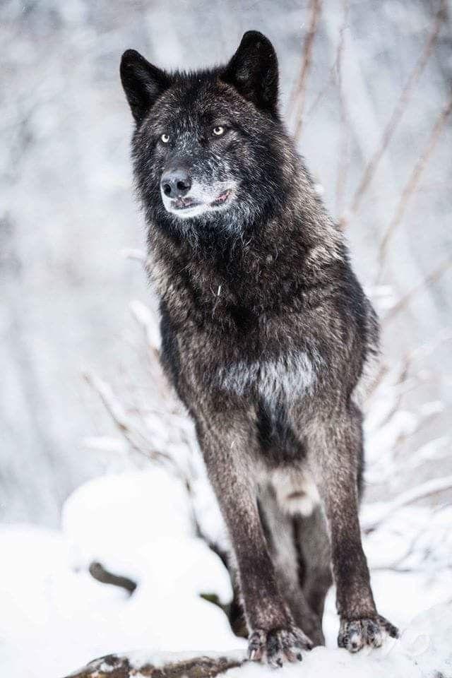 Wolfshunde Schwarz