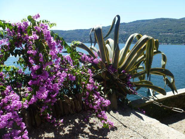 Bugenwilla Bougainvillea Plants Bougainvillea