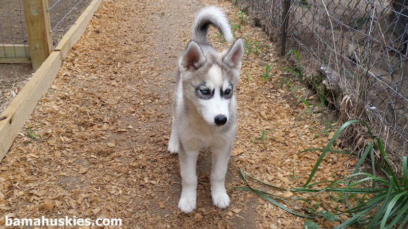 Pin By Christelscott On Wolves Husky Puppy Husky Husky Puppies
