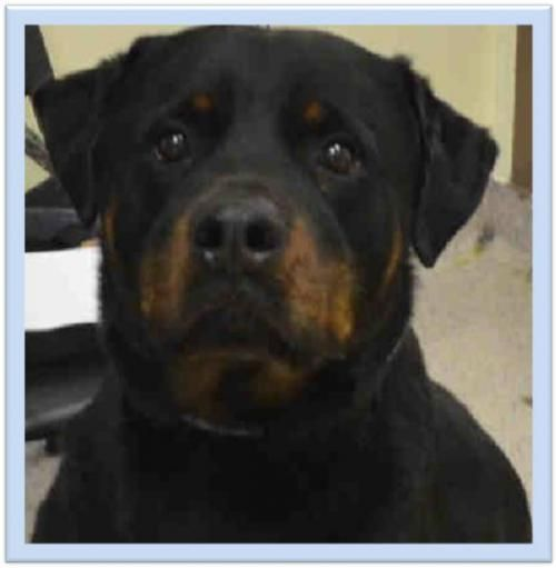 Adopt Mason On Rottweiler Mix Rottweiler Rottweiler Rescue