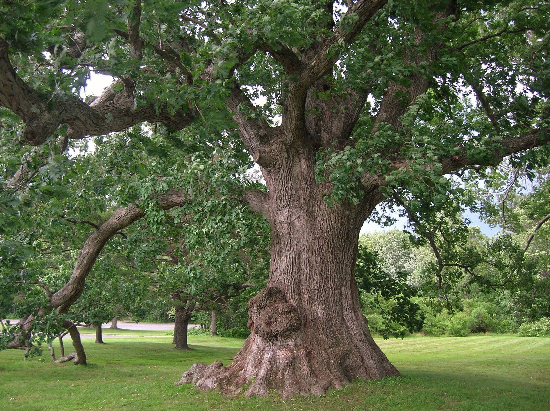 White oak google search trees pinterest white oak and