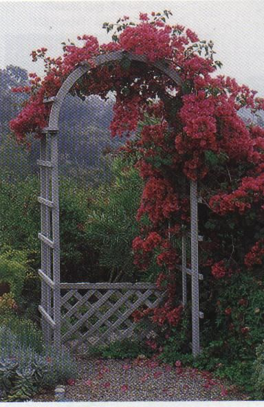I Need Some Bougainvillea Arches By My Gates To Prevent