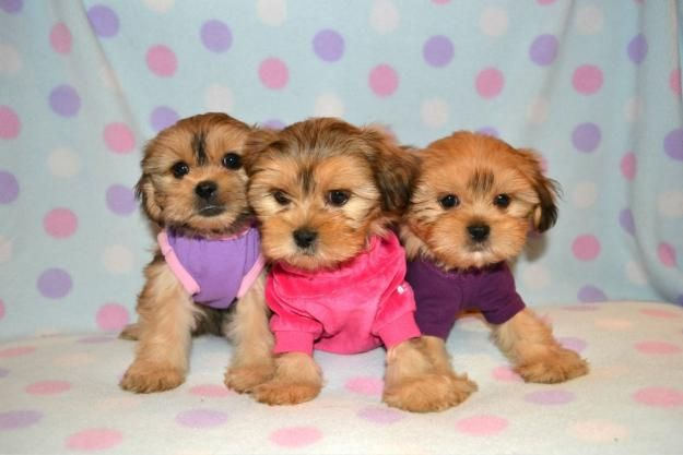 TEACUP, TINY TOY AND TOY SIZES MINIPUPS Yorkie dogs for