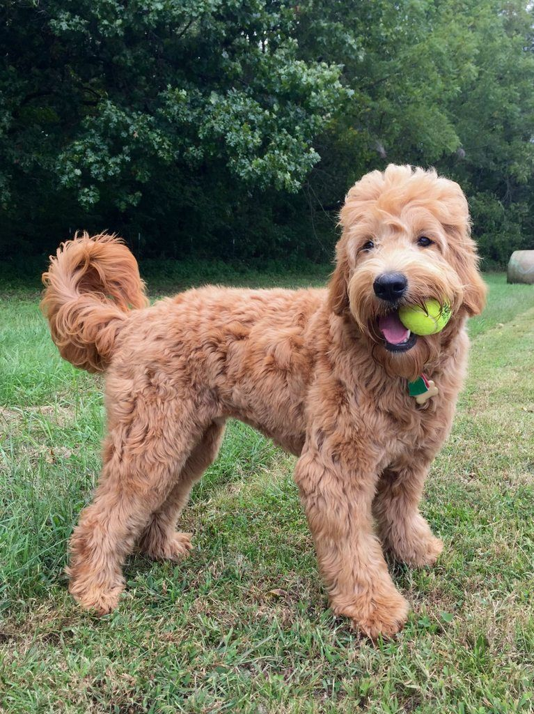 goldendoodle haircut my favorite dog doodle and goldendoodle haircut pictures newhairstylesformen2014