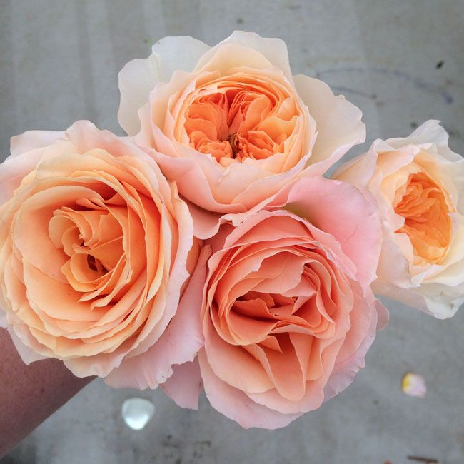 Salma Rose By Nevado And Juliet Garden Roses   Peach Roses