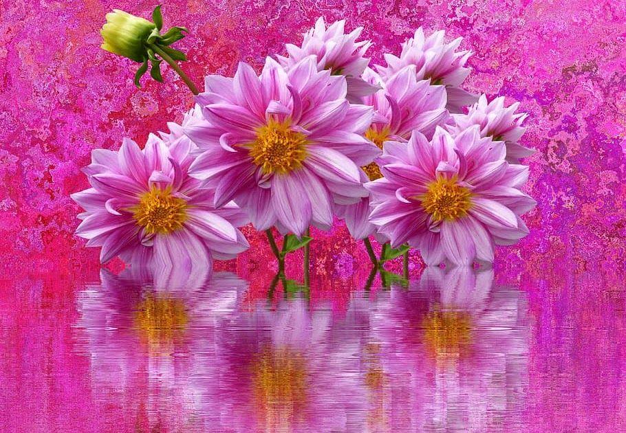 25 Bunga Dahlia Berwarna Di 2020 Bunga Dahlia Dahlia Bunga
