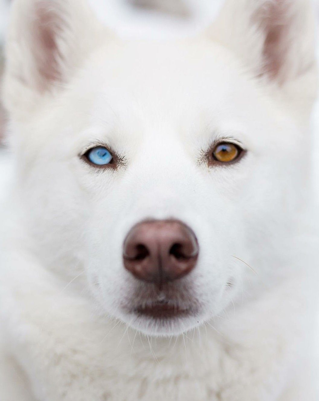 Pin By Husky Mom On Dogs And Cats Mostly Dogs Husky Dogs