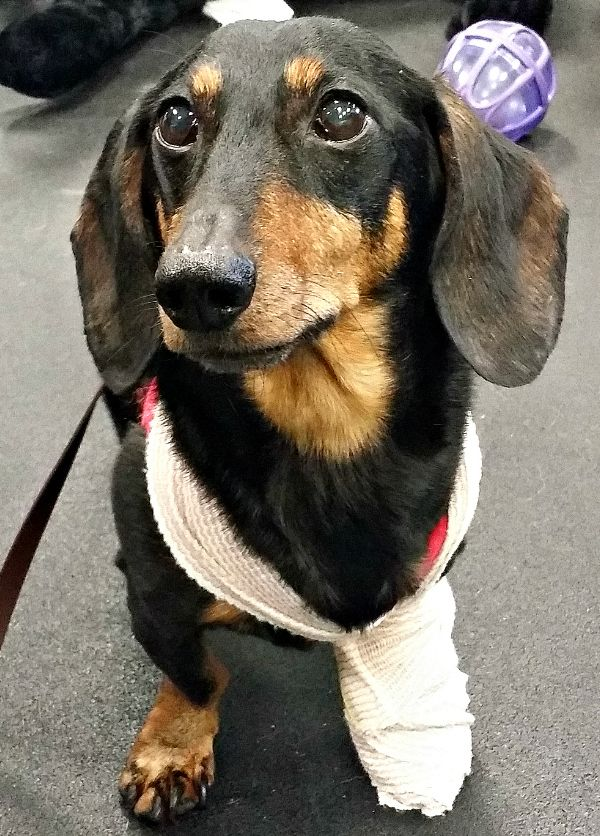 Walks N Wags Pet First Aid Classes Fun And High Quality Pets First Aid Classes Dachshund Breed