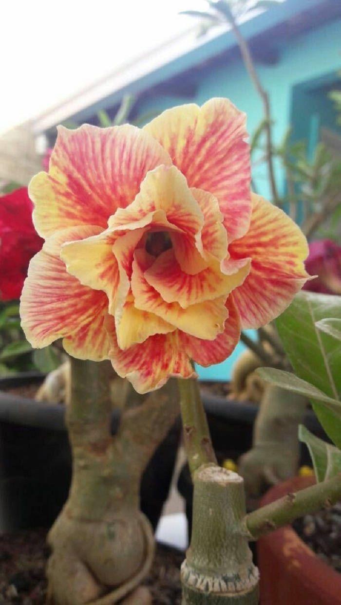 2 Rare Yellow Orange Desert Rose Seeds Adenium Obesum Flower