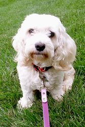 Corky is an adoptable English Cocker Spaniel Dog in Medinah, IL. Hi there, (wiggle, wiggle, nub wag!) �My name is Corky and my foster family tells me that I'm just the sweetest little girl EVER!!! �I'...