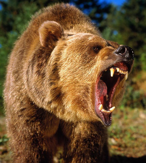 grizzly bear attack - Google Search | Animal Photos ...
