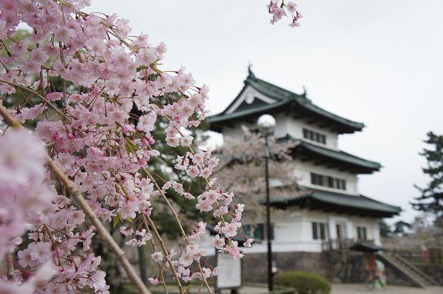 Hirosaki Castle In Cherry Blossom Festival Season Cherry Blossom Festival Cherry Blossom Japan Cherry Blossom