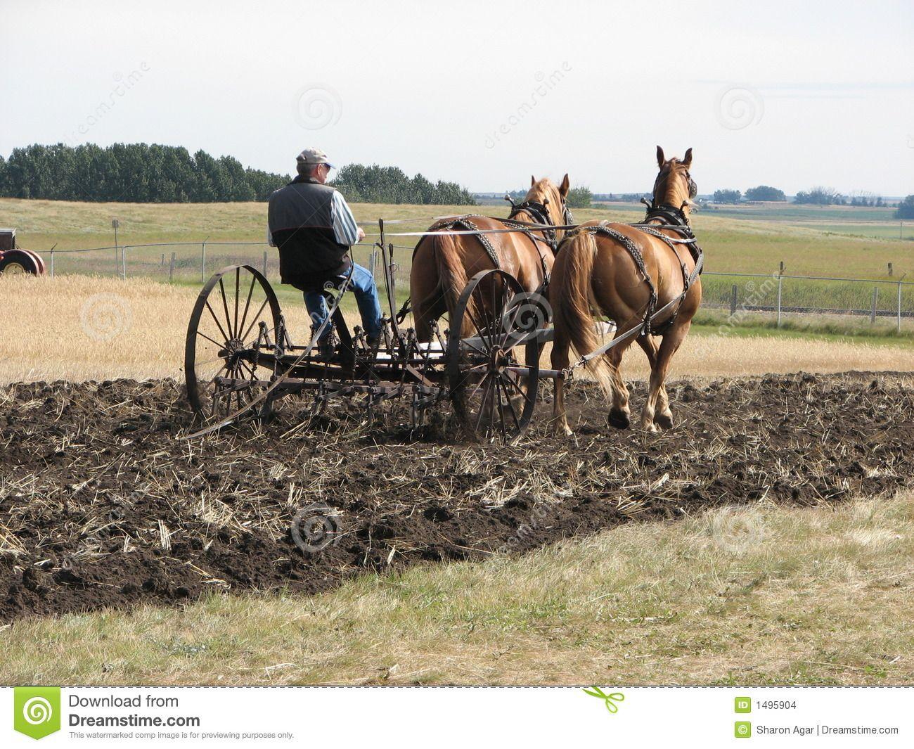Caballos Percherones Trabajando En El Campo