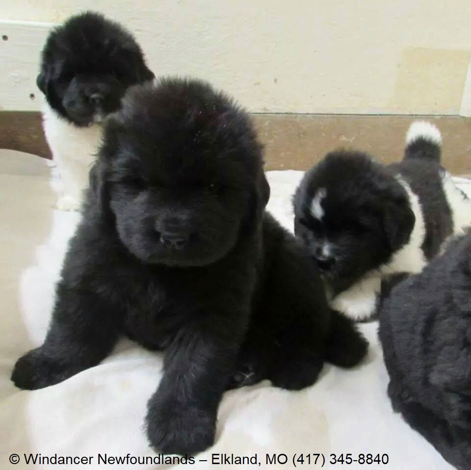 Windancer Kennel Specializes In Producing Solid Black Or Black And