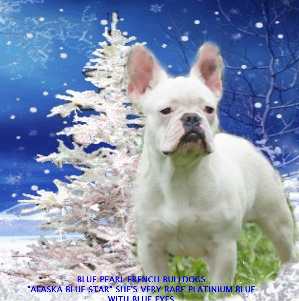 French Bulldog Health And Life Span Information About Belly