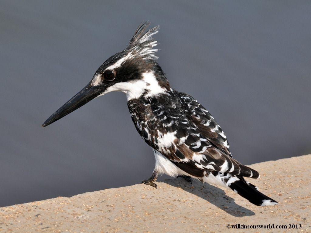 Pied kingfisher Birds, Kingfisher, Kingfisher bird