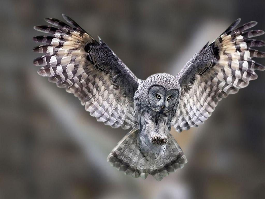 Owls Flying Flying Owl Wallpaper Animal Pinterest