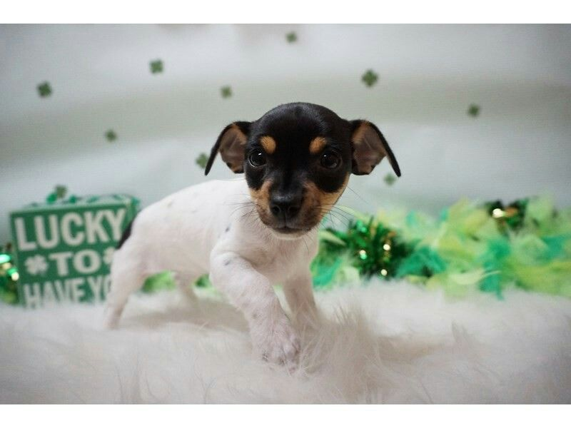 Toy Fox Terrier Puppies, Toy fox terriers, Fox terrier