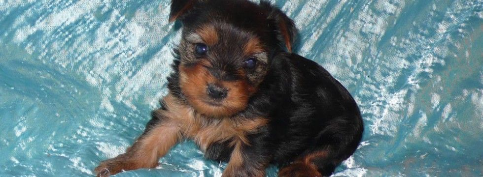 Puppies For Sale In Iowa Dogs For Sale Coldwater Kennel