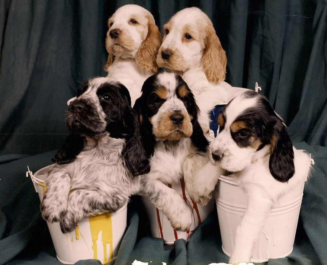 I Have Found That The Friendliest Pups Are Normally The Puppers Surrounded By The Best Owners Of Puppies Cocker Spaniel Dog Puppies Cocker Spaniel