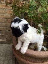 Toddles Tibetan Terrier Cross Miniature Poodle 5 Tibetan