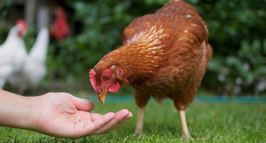 Chicken Feed A Simple Recipe To Feed Your Flock Yourself Show