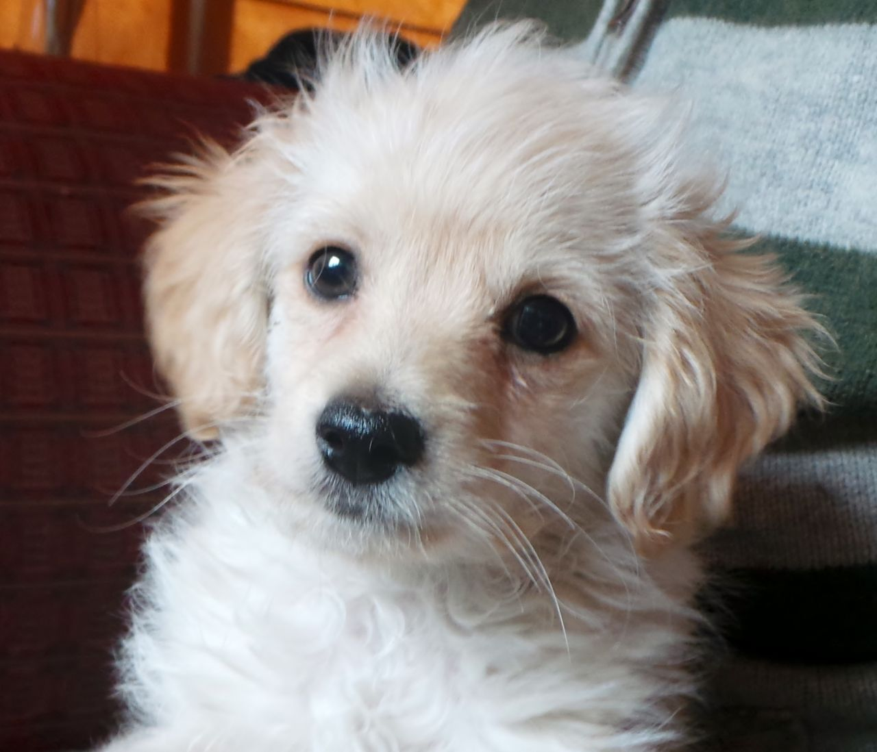 White Toy Poodles Full Grown Sweet chihuahua x toy poodle