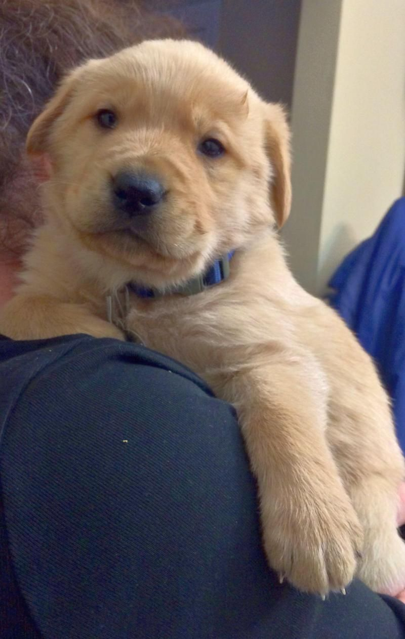 Adopt Asher on Petfinder Golden retriever, Cute dogs