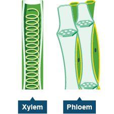 xylem and phloem - Google Search | Biology plants ... Xylem Tissue Facts