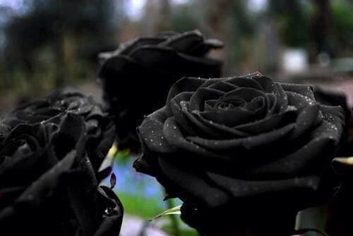 Rosas negra exóticas