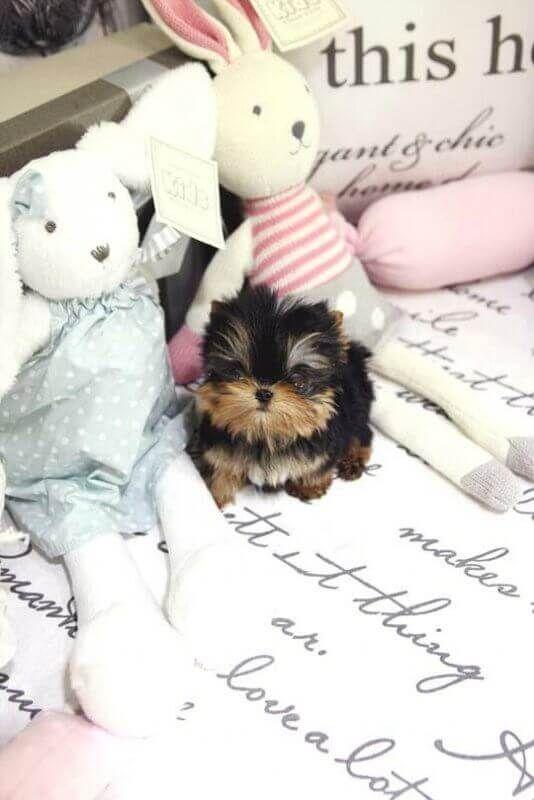 Carlito Tiny Teacup Yorkie Posh Pocket Pups Micro