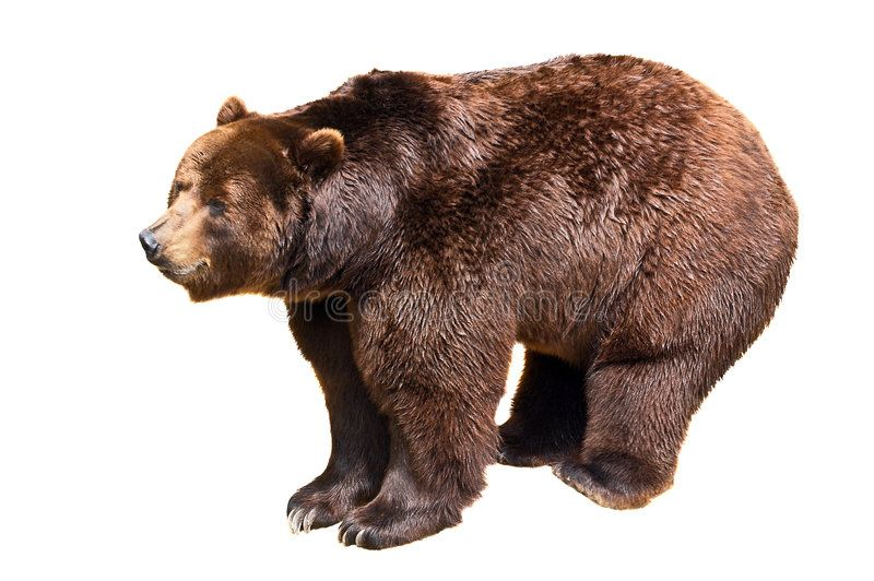Brown Bear Isolated On White Background Ursus Arctos Aff