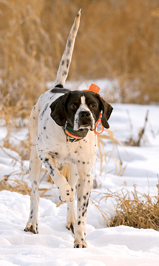 How to Protect Your Bird Dog From the Cold | Bird Dogs | Dogs