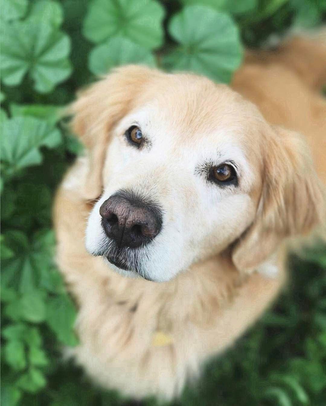 That Sweet White Face Of A Golden Golden Retriever Dog